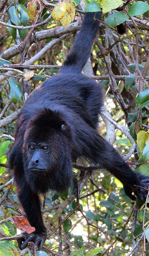 Black Howler Monkey, largest New World monkey