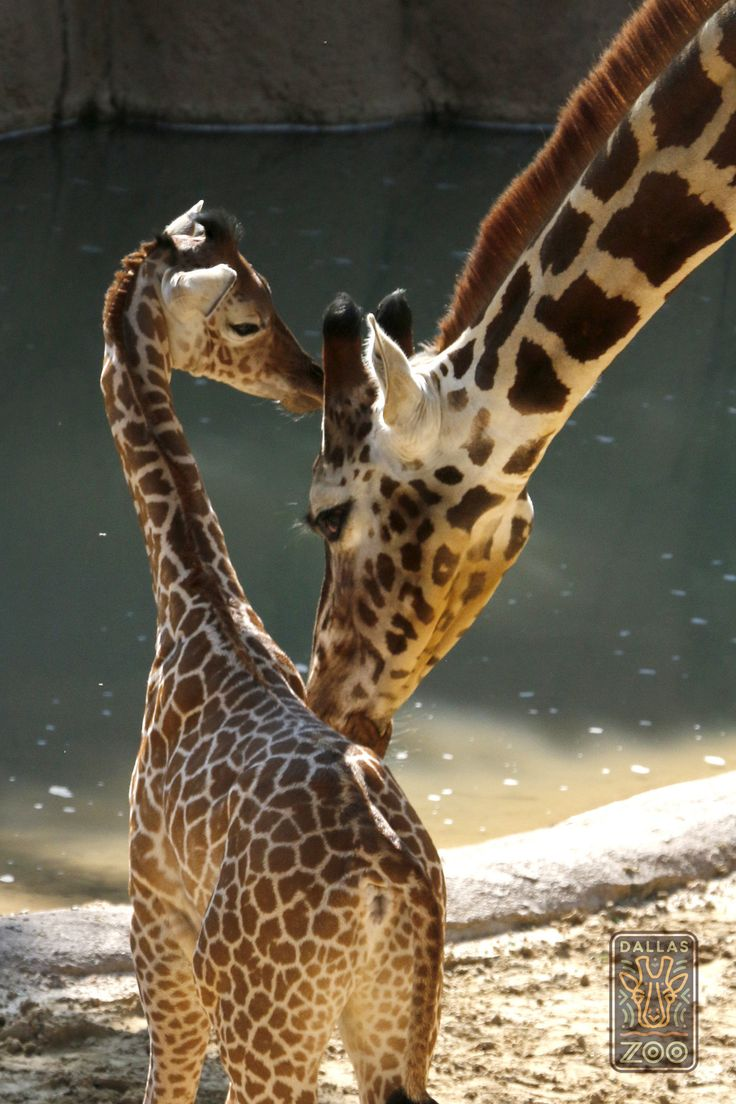 Giraffe Katie couldn't be a better mama to her sweet girl, Kipenzi.