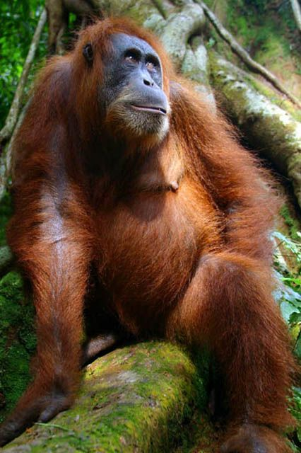 Orangutan Sumatera Her Majesty's...