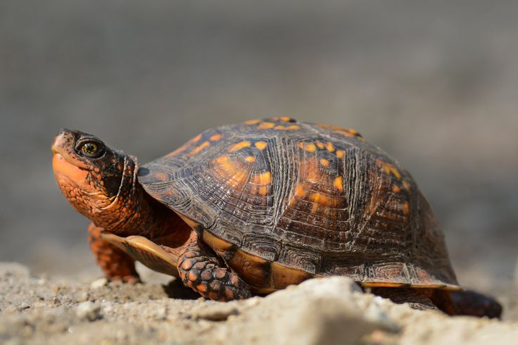 https://flic.kr/p/tfvSwb | Eastern Box Turtle (Not as Fast as a Warbler!) Dartmouth MA | Many thanks to all those who View, Comment and or Favorite My Photos. It is greatly appreciated. Scott :)