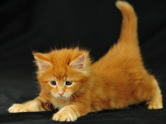 Imagen tierna de gatito anaranjado  [27-1-17]
