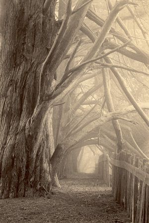 Bare trees - your favorite...Bluff Reach Hedgerow  Edition of 50 | 8 x 10 inches  Sepia toned gelatin silver photograph    Paul Kozal © Copyright