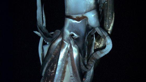 El calamar gigante, filmado por primera vez en el fondo del mar | Sociedad | EL PAÍS