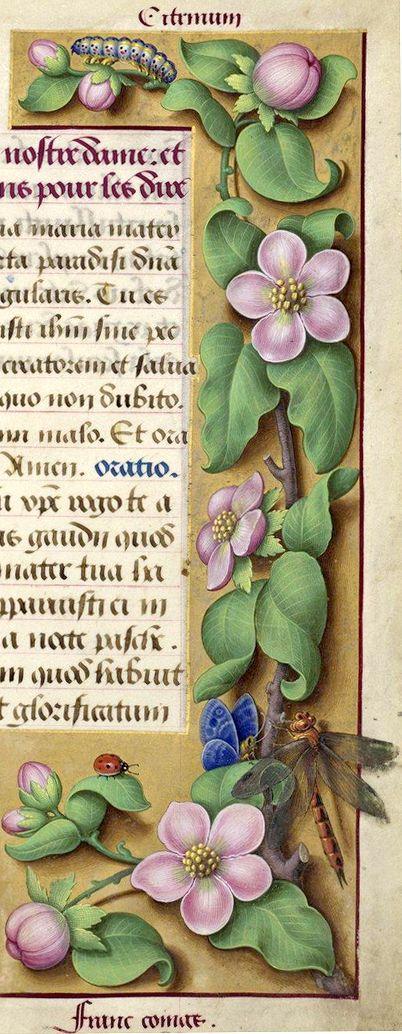 Franc coings - Citrinum (l. citonium) (Cydonia vulgaris Pers. = cognassier en fleurs) -- Grandes Heures d'Anne de Bretagne, BNF, Ms Latin 9474, 1503-1508, f°160r