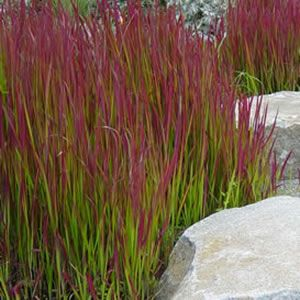 57 best plants perennials ornamental grasses for Ornamental grasses for ponds