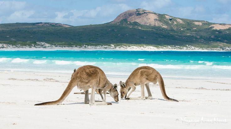 kangourous-sauvages