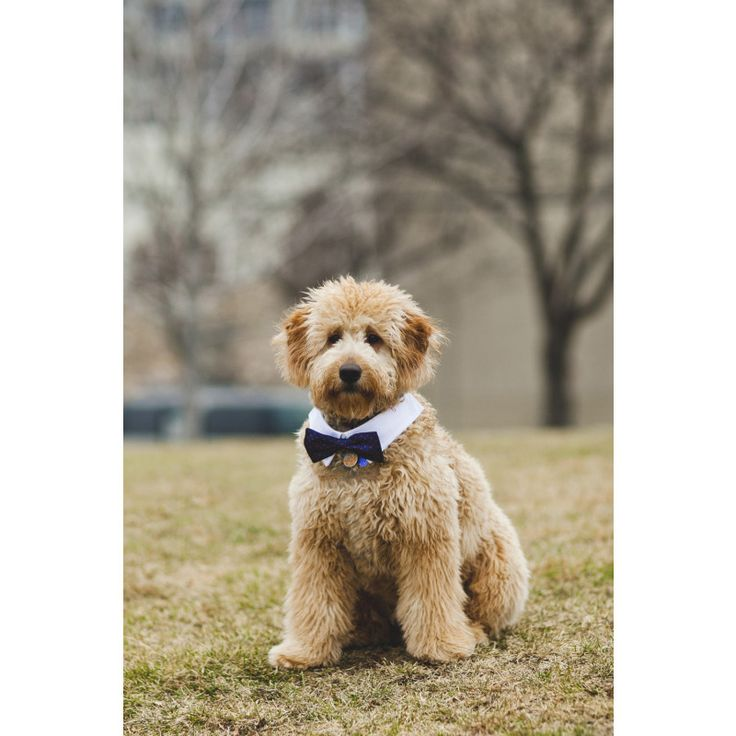 Puppies for sale Goldendoodles in Vergennes, Illinois