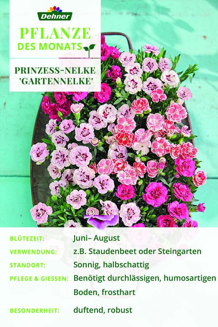 Unsere Pflanze Des Monats Die Prinzess Nelke Gartennelke Garten Pflanzen Nelken