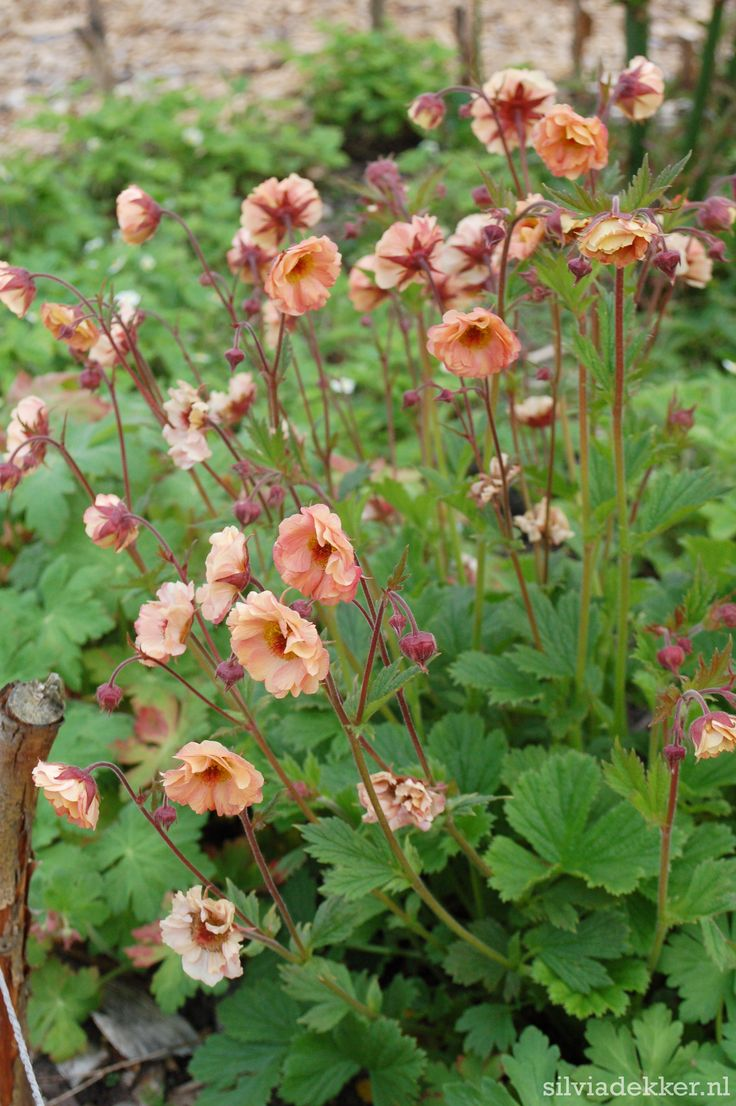 Peach coloured Geum Mai Tai in the garden of Silvia Dekker. Follow me on Instagram for more garden images: @silviadekker
