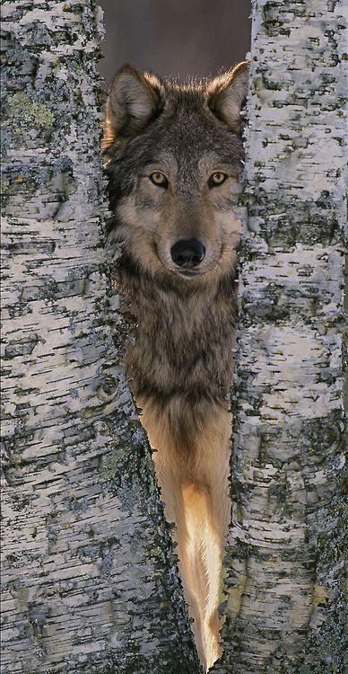 Grey wolf near birch tree trunks, Canis Lupus, MN | ©William Ervin