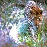 Dream Destination of a lifetime: South Africa Safari- Londolozi Private Game Reserve