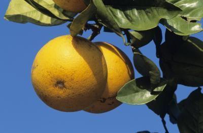 手机壳定制balenciaga handbags on sale The Unofficial Mayo Clinic Grapefruit Diet Plan