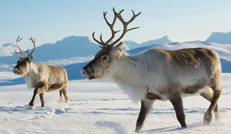 Reindeer in Tromso, Norway.