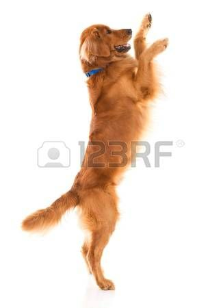 dogs playing: Cute dog jumping - isolated over a white backgorund