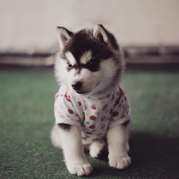 http://www.boredpanda.com/siberian-husky-dogs-dressed-as-humans-erica-tcogoeva/