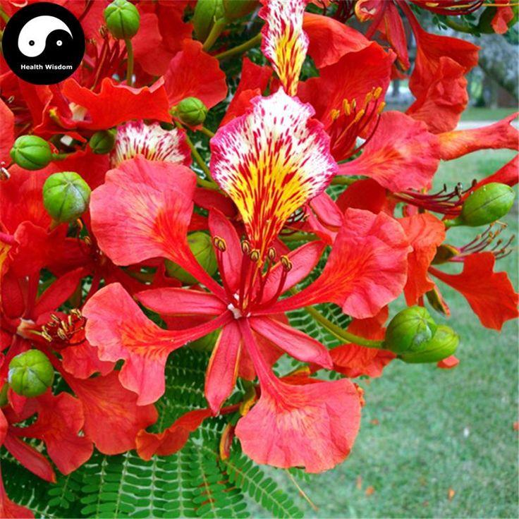 Buy delonix regia tree seeds 20pcs plant peacacock flower