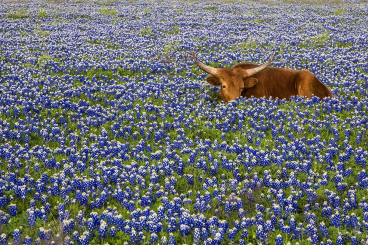 BEST PLACES TO SEE BLUEBONNETS Keep an eye out for longhorns. This guy was enjoying bluebonnets for the first time. Image credit : Jason Weingart