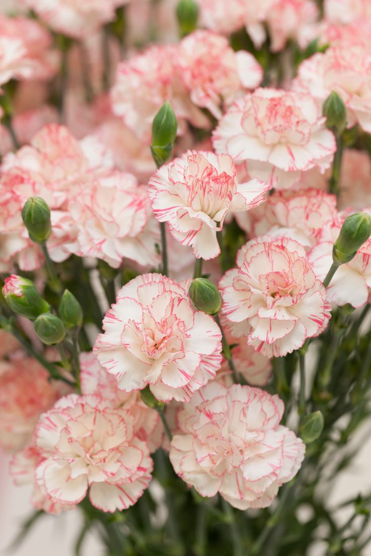 The carnation is the national flower of Spain, Monaco, and Colombia, but Bogota, Colombia is known for growing them. Carnations first came to the United States in 1852.   - HouseBeautiful.com