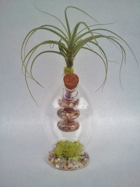 Straminea Tillandsia Bromeliad in a geeky by EDsAirplants on Etsy, $25.00