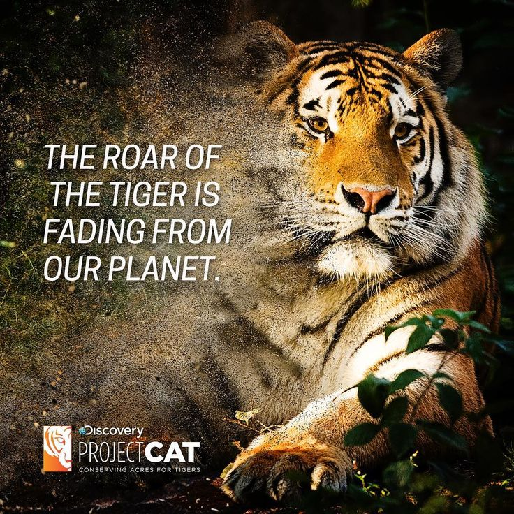 This #GlobalTigerDay 🐯❤️🌎, join the #ProjectCAT fight to support a worldwide effort to double the number of tigers in the wild by 2022. By conserving nearly a million acres of protected land on the border of India and Bhutan, this collaboration aims to ensure a healthy habitat for future generations of tigers. 👉 discovery.com/projectCAT . . . . . . . . . . #tiger #savetigers #conservation #internationaltigerday #protecttigers #wwf #iprotecttigers #animals #wildlife #wildtiger #awareness…