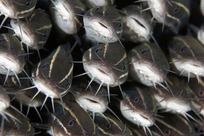 Подводный мир Стива Блума. Группа полосатых сомов в Лембехе, Индонезия