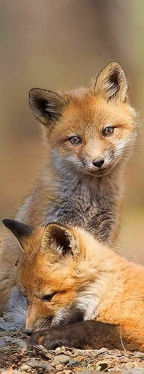 Two cute Fox Cubs #animal pet wilderness wildlife nature