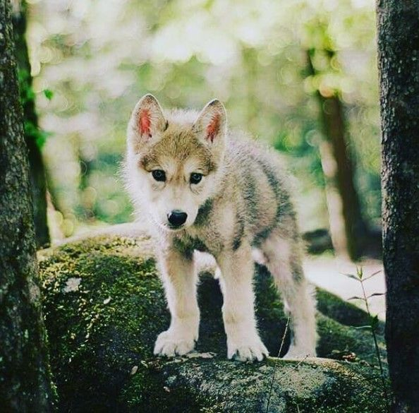 The 14 Most Lovable Wolf Pups Page 2 Of 3 The Paws Baby Wolves Cute Animals Animals Wild