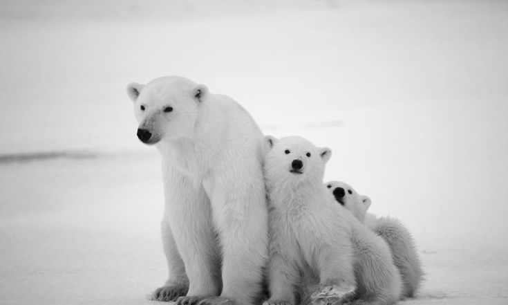 Please check out WWF and the great things they do for Polar Bears.  I have added a blog that talks about this too.  I invite you to read and learn more about the endangered polar bears at http://cameoburton.weebly.com/polar-bears.html