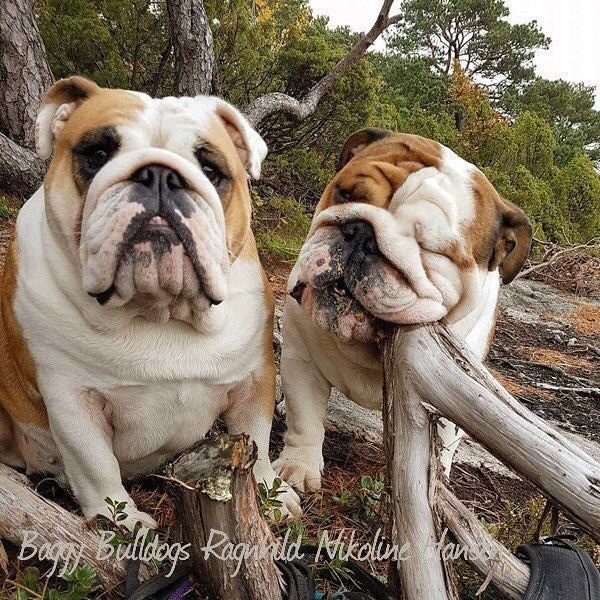 Pin By Kathryn Lemanski On Bulldogs English Bulldog Care