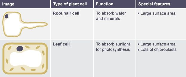 Table Comparing Function And Features Of Root Hair Cell