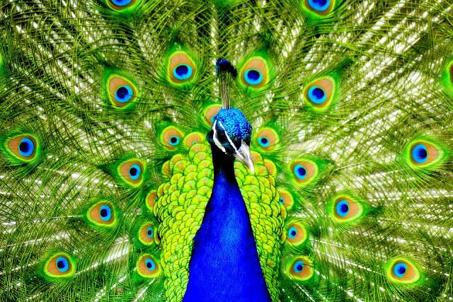 Top 28 Most Beautiful And Sweet Peacock Wallpapers In HD -