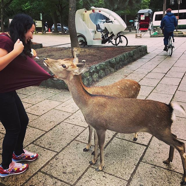 Nara Park, home of nearly 1200+ deers. Symbol of Nara, Japan. 奈良公園,近1200+鹿的家園。日本奈良的象徵。  #Nara #japan #narapark #deer #wild #travel #osaka #奈良 #日本 #奈良公園 #鹿 #自然