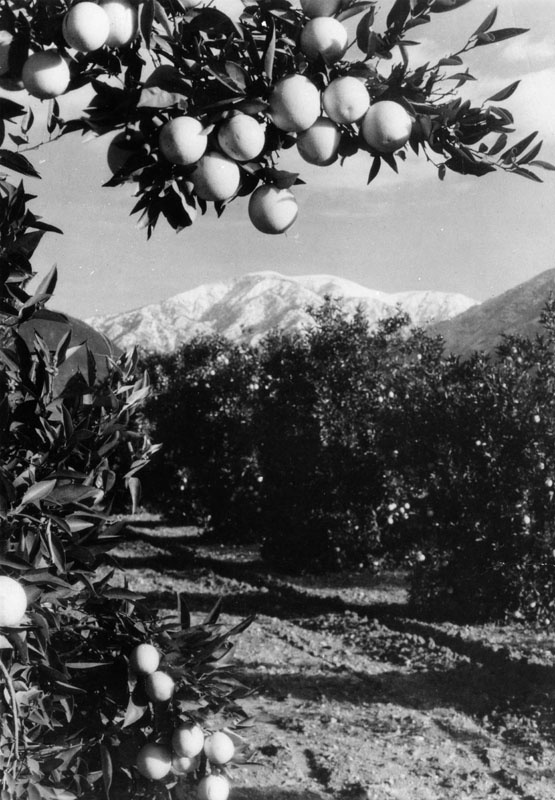 """Mt. Baldy as seen through the Orange Groves near Claremont, California."""