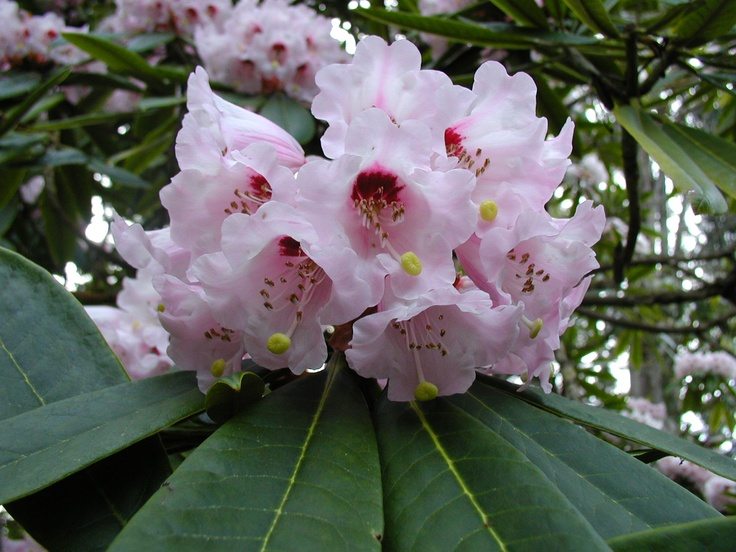 Rhododendron calophytum - March/April blooms.  Gorgeous but difficult to find species