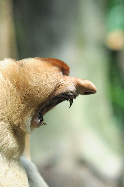 """Proboscis Monkey (Nasalis larvatus)   """"The proboscis monkey is found only on the island of Borneo in Southeast Asia. It prefers to live in the mixed diterocarp-kerangas forests, mangrove forests and lowland forests near fresh water and rivers. They live almost exclusively in mangrove forests, but can also be found in lowland rainforests."""""""