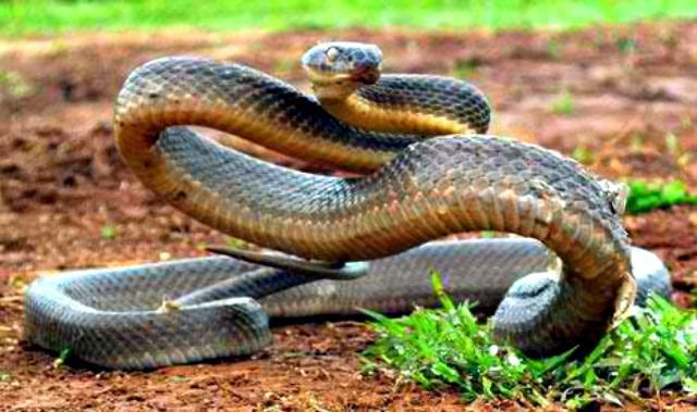 How many people have been killed by the inland taipan? The Fierce Snake / Inland Taipan Facts - Questions and Answers.