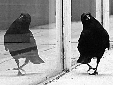 struttin' - black bird - black and white photography - reflection