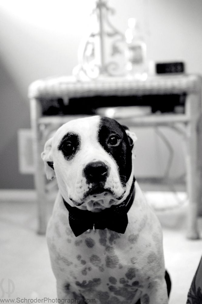 15 Times Pit Bulls Made Weddings Infinitely Better. PD the ring bearer is killing us with those puppy Dog eyes.