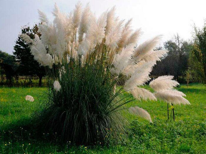 Пампасная трава: посадка и уход