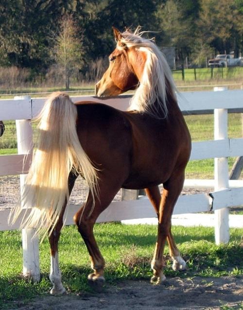 Chestnut arabian horses - photo#13