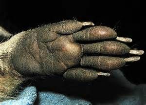 raccoon hands - Bing Images