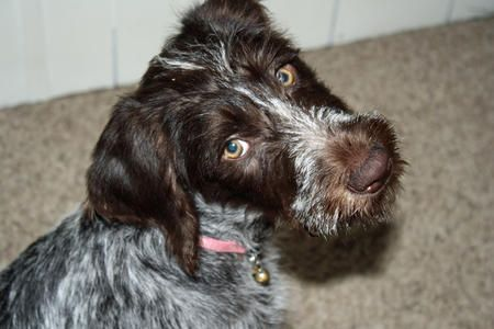 Dazie Loo the German Wirehaired Pointer