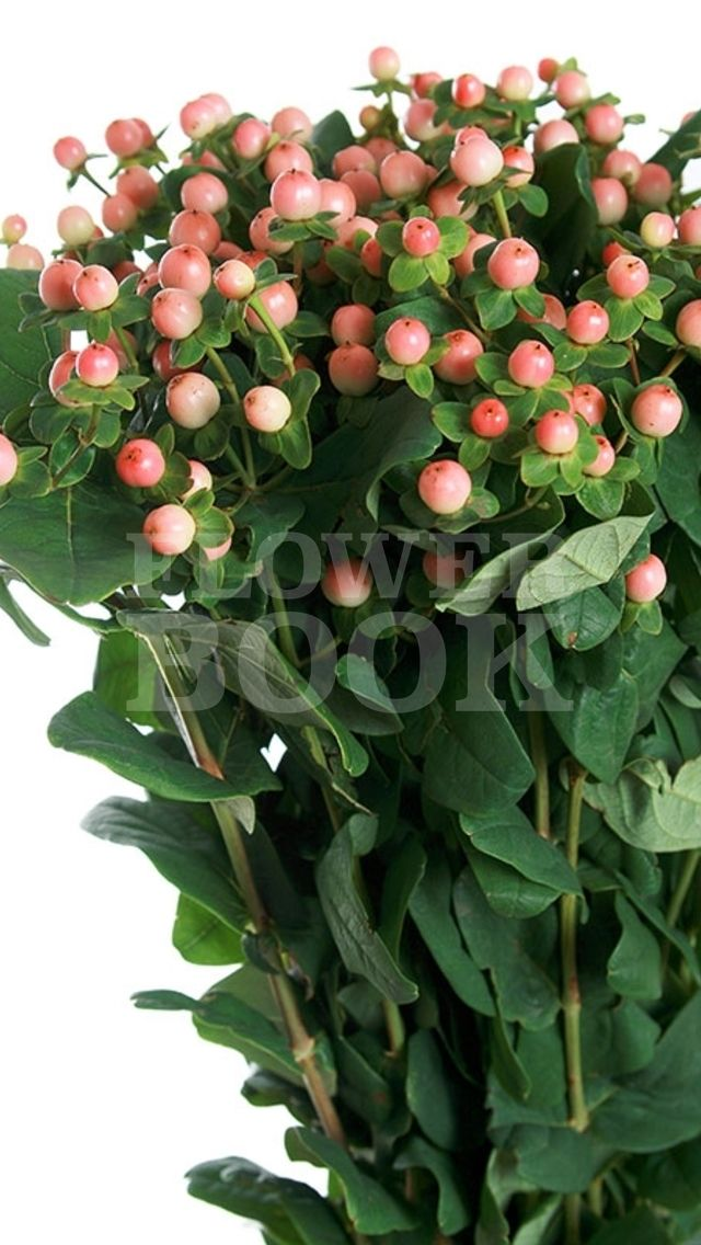 Hypericum Magical Pink Giant