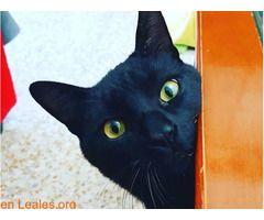 GUSTAVO EN ADOPCIÓN  #Adopción #adopta #adoptanocompres #adoptar #LealesOrg  Contacto y info: Pulsar la foto o: https://leales.org/animales-en-adopcion/gatos-en-adopcion/gustavo-en-adopcion_i2713 ℹ  Os presentamos al bello GUSTAVO. Éste gatazo de 2 años ha estado a punto de ser tirado a la calle porque su familia parece que tenía algún problema y como siempre ocurre.....a la calle el gato!!! Allí estaba una socia voluntaria para evitarlo. GUSTAVO es un gato buenísimo mimoso adorable y muy…