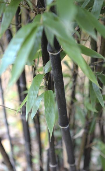 Schwarzer Bambus Phyllostachys nigra