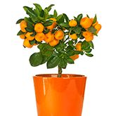 Cara Cara Orange Tree for Sale | Fast-Growing-Trees.com