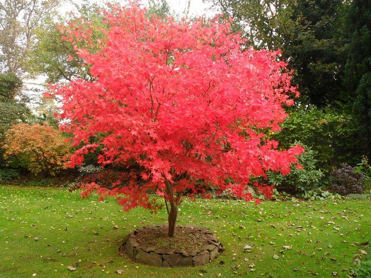 Una de las características más representativas de este árbol es el color rojizo que adoptan sus hojas en la época otoñal, sin ninguna duda supone un toque colorido que favorece a cualquier patio.