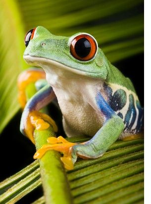 Red-Eyed Tree Frog. Amazon