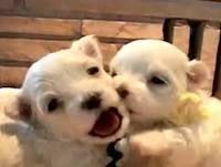 baby Westland terriers so cute im melting!!!!!!!!!!!!!!!!!!!!!!!!!!!!!!