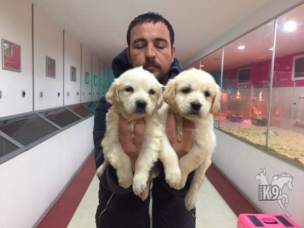 Satılık Golden Retriever Yavruları | Club K9 Köpek Çiftliği ve Binicilik Merkezi